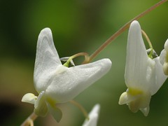 Dutchman´s Breeches