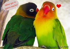 por que no decirlo? (Facu551) Tags: love del friendship amor pjaros amistad periquito perico declaracion inseparables