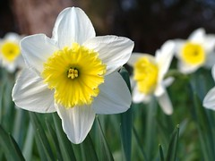 White Yellow (photon_de) Tags: white flower yellow bblingen daffodil narcis