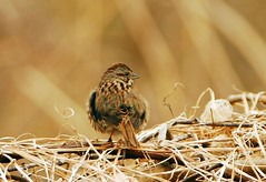 Song Sparrow (tbradford) Tags: song sparrow