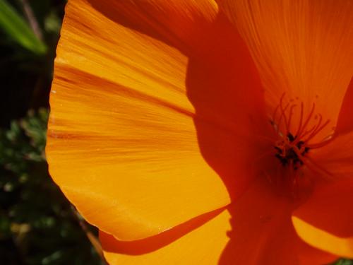 Poppy 03