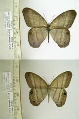 Chloreuptychia arnaca
