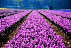 Hyacinthus (Just a guy who likes to take pictures) Tags: flowers flower holland color colour netherlands dutch field boer photography europa europe fotografie photographie farm dunes den ad colorphotography nederland thenetherlands zee fields holanda farmer paysbas nederlands duinen hyacinten bloemen aan niederlande egmond bloem boerderij hyacinthus the trekker kleur hyacint colourphotography agri hoef hollandisch kleurenfotografie niederlandisch