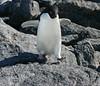 Rock Hoppin' Adelie (eserehtM) Tags: wild bird birds canon penguin penguins canon300d antarctica adelie wildpenguin