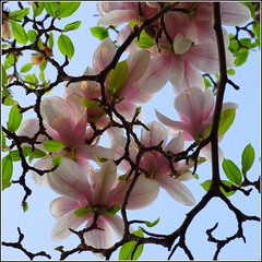 The Sky's Wallpaper (kubse) Tags: pink flower colour tree nature spring bush magnolia resselpark platinumphoto fleursetnature
