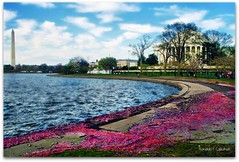 Sakura Remnants (Ronaldo F Cabuhat) Tags: park city travel pink flowers blue vacation sky love water colors beautiful beauty clouds canon fun happy photography washingtondc petals cool tour image air picture visit photograph kanji sakura cherryblossoms breeze washingtonmonument jeffersonmemorial tidalbasin thomasjeffersonmemorial cabuhat sakuraremnants exif71 exif22mm