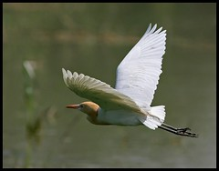 Cattle Egret (Bubulcus ibis) flying in Sultanpur Bird Sanctuary, India (Saran Vaid) Tags: wild india white bird nature water beautiful beauty birds fauna fly flying bill inflight wings asia cattle bokeh wildlife indian birding wing beak feathers reserve sigma waterbird aves best safari ibis exotic national tropical elegant common habitat egret soe sanctuary spotting birdsanctuary sighting cattleegret haryana wingtips bubulcusibis bubulcus sultanpur flickrsbest bej mywinners abigfave canoneos400d sultanpurbirdsanctuary platinumphoto flickrdiamond rubyphotographer abovealltherest goldenheartaward sigma150500 vosplusbellesphotos sigma150500mmf563dgoshsm