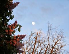 LIlacs at Sunset (pegbent) Tags: flowers moon washington twilight skies moonrise blooms lilacs wallawallacounty yourwallawalla