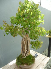 Caring for Your Indoor Bonsai