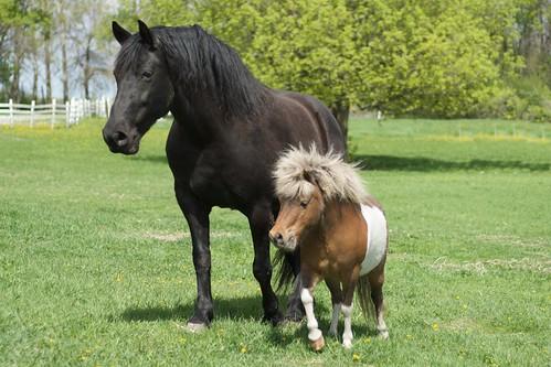 horses usa mariah mn cosmos gingerbreadhorse