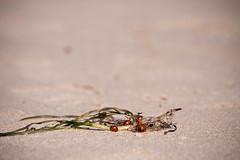 Marienkäfer am Strand von Göhren (DerWusti) Tags: deutschland urlaub rügen ostsee deu frühling mecklenburgvorpommern göhren rgen frhling ostseebadgöhren ghren ostseebadghren