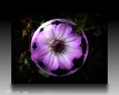 In a Bubble (♥ Katie ann. Off more than on.) Tags: fioriflowers mywinners abigfave pinkpurplegreen citrit brillianteyejewels goldsealofquality everydayissunday theperfectphotographer goldstaraward juliesgalleryofnature handselectedphotographs