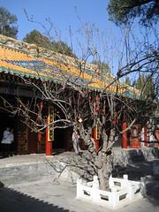 IMG_0986 (waldmeisterlein) Tags: china tree temple buddhist beijing baum peking tempel buddhistisch neujahrswünsche