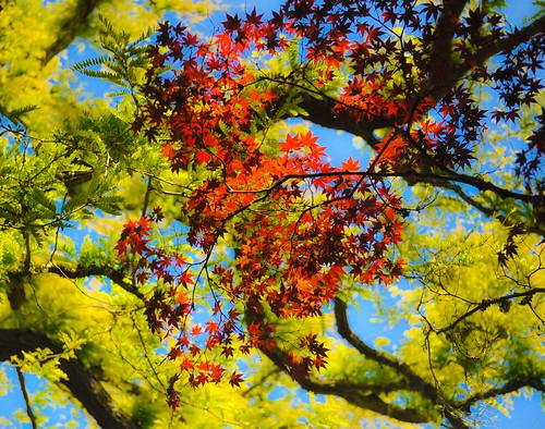 フリー画像| 自然風景| 樹木の風景| カエデ/もみじ| 紅葉|       フリー素材|