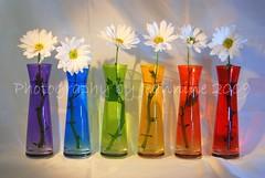 Daisy Chain (~Jeannine~) Tags: flowers stilllife flower daisies daisy picnik vases themoulinrouge blueribbonwinner creativeimagery platinumphoto colorphotoaward
