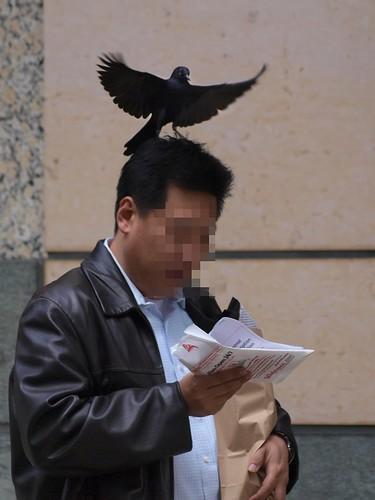 Swoops the Blackbird Targets a Pedestrian