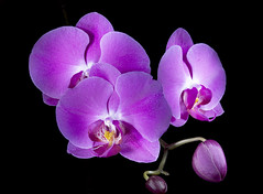 Light Painted Phalenopsis Orchid