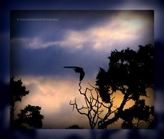 Flight Coming In (mountainbeliever) Tags: nature beauty birds clouds outdoors flying scenery colorado colorful skies wildlife flight sunsets treetops views mothernature picnik springtime wildbirds