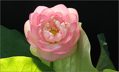 Lotus Flower:IMG_0614 (Bahman Farzad) Tags: flower macro yoga stem peace lotus relaxing peaceful meditation therapy lowkey lotusflower lotusflowers lokey lotuspetal lotuspetals lotusflowerpetals lotusflowerpetal