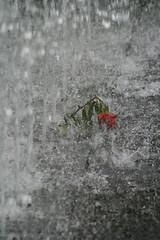 Lost love (wout.) Tags: berlin fountain rain rose canon eos400d shieldofexcellence