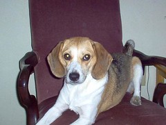 Trixie (28) (stephaniemyeager) Tags: new old school wedding girls baby beagle dogs parish gardens hospital river big high twins orleans highway louisiana long elizabeth 21 daniel united mommy young paige ridge huey newborn isabelle stephanie april p jefferson kenner years azalea states nola easy middle trixie fraternal infants holmes veterans 29th audubon dashound yeager payton the metairie riverdale montesorri oschner