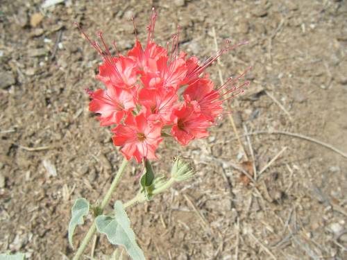 A West Texas Weed