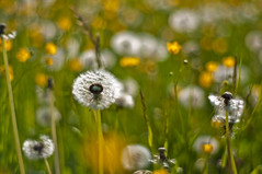 Pusteblume  (Dandelion) (Michad90) Tags: flower green beautiful grass 50mm nikon dof bokeh dandelion lovely f18 lwenzahn pusteblume d90