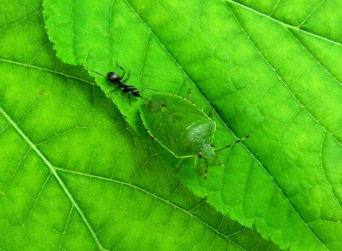 green stinkbug on striped maple