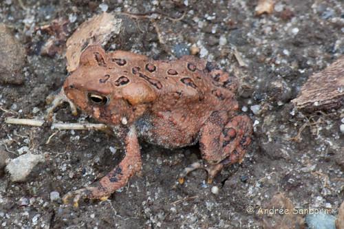 American Toad (Anaxyrus americanus)-6.jpg