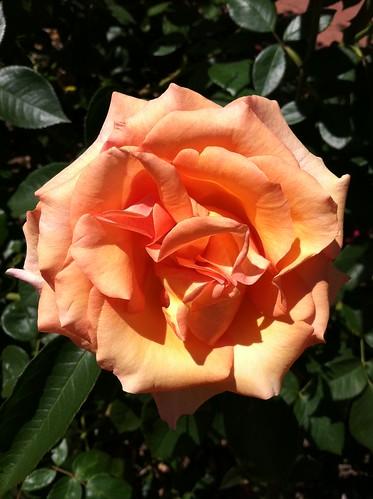 sanmateo_rosepeach