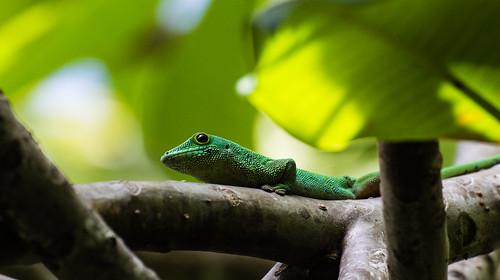 Gecko Grün