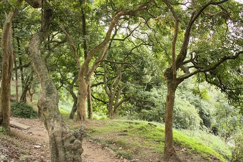 long yan trees