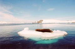 Seal on ice (chris.bryant) Tags: ocean morning sea sky cloud sun mountains cold ice nature water boat rocks ship antarctica calm seal iceberg soe phoca naturesfinest supershot platinumphoto anawesomeshot aplusphoto flickraward aplusphotos goldstaraward absolutelystunningscapes rubyphotographer vanagram fabbow