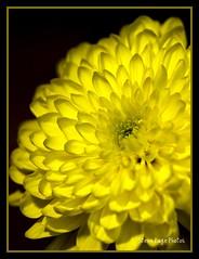 Green Heart! (iTail ~ 3.8 MV ~ Thanks !!) Tags: lighting flower green love yellow canon soft shadows dof heart bright bokeh petal mum highlight tender gentle excellence itail 100mmcanonmacro supershot fantasticflower platinumphoto ultimateshot rubyphotographer 5dmarkii vosplusbellesphotos