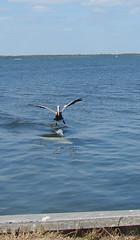 dolphin & pelican