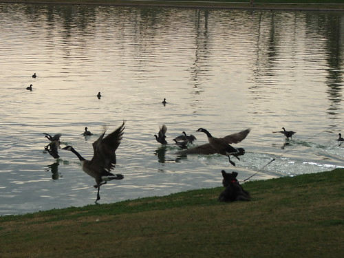 Dobby Chases the Geese