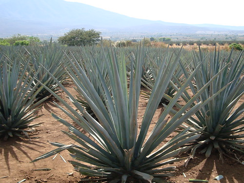 The Great Agave Syrup Debate