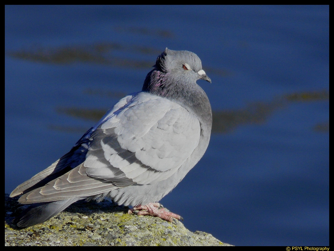 Rock Pigeon (Columba livia) sporting a cool 'do'