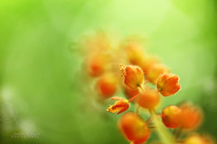 Into the Light (anthonyserafin) Tags: orange flower macro green up canon close bokeh vine 100mm 5dmark2 macroliciuos anthonyserafin
