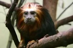 Na was guckst du ? (roba66) Tags: animal animals zoo monkey tiere stuttgart ape tier affen wilhelma otw flickrlovers vanagram