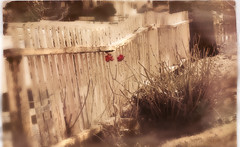 picket fence (little~ny) Tags: old red white plant flower tree texture sepia yard canon vintage fence photography soft artistic antique weathered canonrebel picketfence