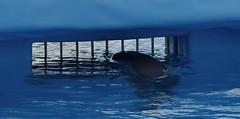 Muriendo para entretener          Mediterraneo Marine Park --- Malta (CaptiveDolphins-vs-WildDolphins) Tags: malta dolphins shame delphinarium malte mediteraneo maltagozo marinelands mediterraneomarinepark captivedolphins themediteranneomarineparkinmaltaisashame unehonte unaverguenza dauphinscaptifs themediteranneomarineparkinsliemathemediteranneomarineparkinmalta themediteranneomarinepark dauphinsdelfines delfinescautivos