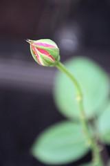 rose bud (Photos by Courto) Tags: pink macro rose bokeh secret rosebud bud smoothbokeh