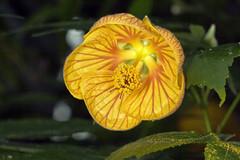 IMG_0004 (Peter Hall (galadial)) Tags: flower 100mmmacro flowercolors