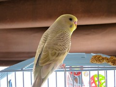 Should I name him Kiwi? (MerrilyMere) Tags: bird budgie parakeet