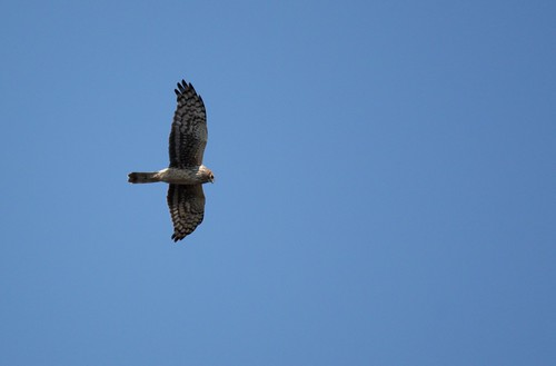 Northern Harrier - 3/16/2009