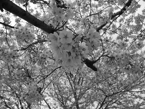 桜@モノクロ撮影