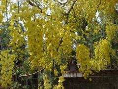 Kani Konna 2009 April (manojputhenveettiljohn) Tags: greetings vishu
