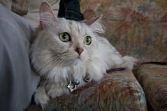 Mimi@0411 (candyz0416) Tags: cats taiwan mimi taipei 0411 canonefs1022mmf3545usm   cats2009
