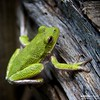 Green Tree Frog (a.d.miller) Tags: canon square amphibian 11 frog treefrog pensacola greentreefrog litoriacaerulea 28135mmis cantonment 40d vosplusbellesphotos floridaeaster